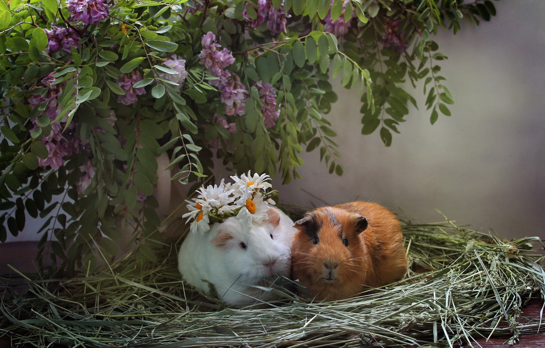 Фото обои животные, лето, ромашки, сено, композиция, июнь, морские свинки