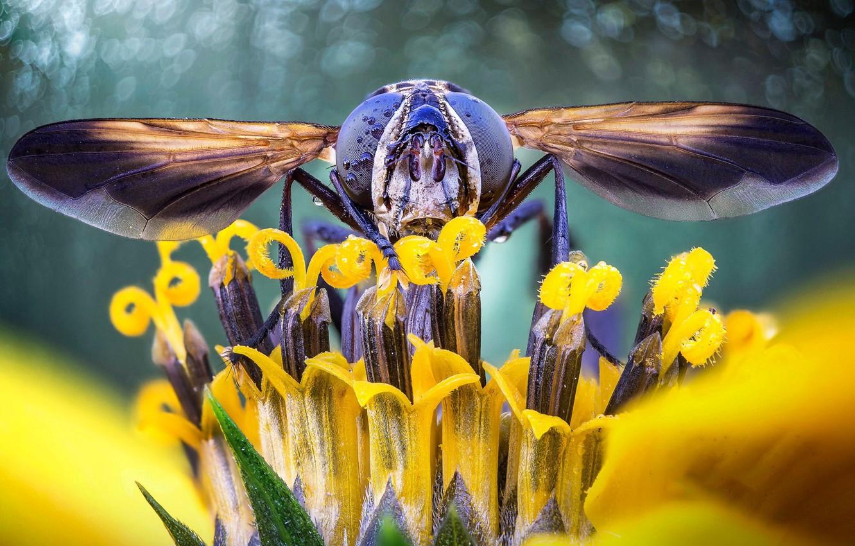 Обои журчалка, цветок, насекомое, боке. Макро foto 11