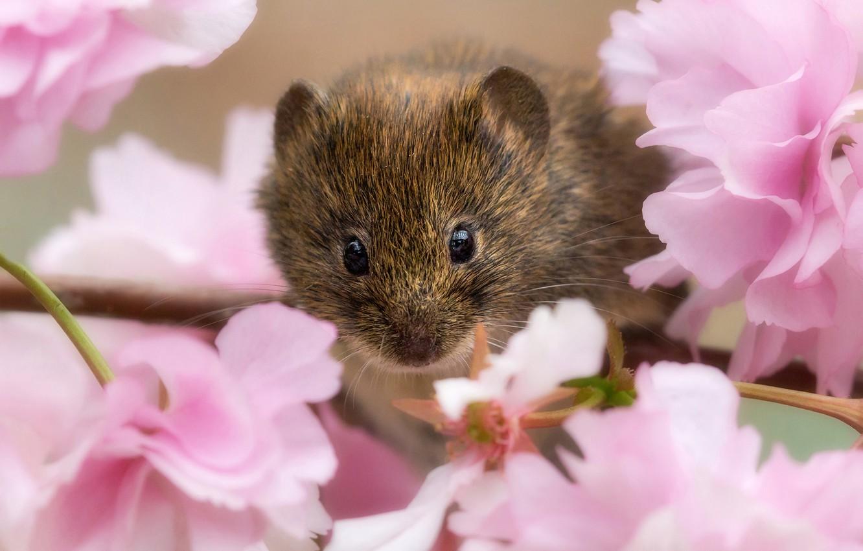 демонстрировали свои крысы фото на рабочий стол нет, сад