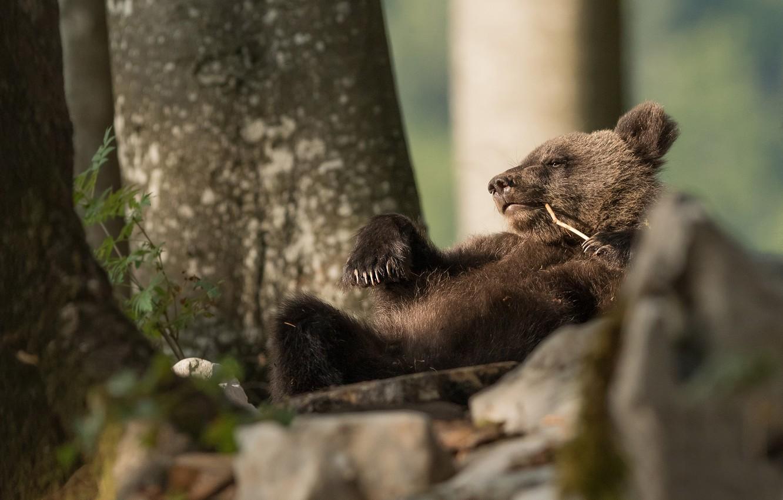 Фото обои медведь, медвежонок, расслабон, перекур, балдеет