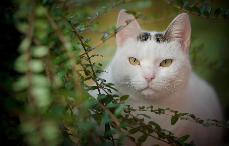 Фото обои кошка, взгляд, листья, ветки, портрет, мордочка, красавица
