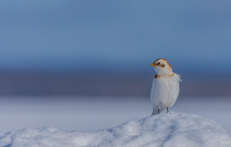 Фото обои снег, фон, птичка, Пуночка, Снежный подорожник
