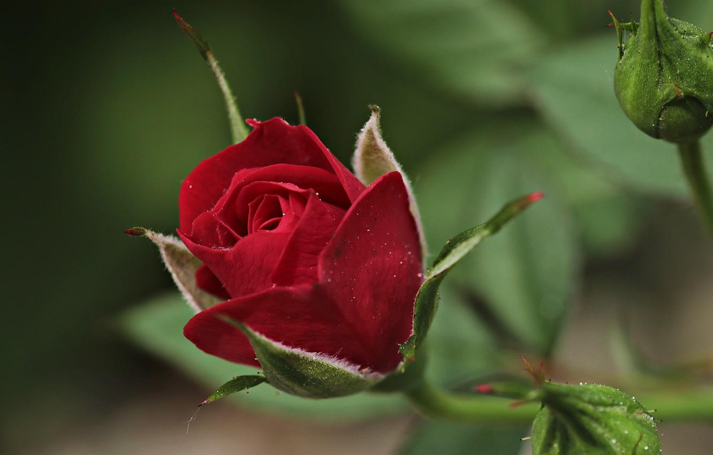 Фото обои цветок, макро, роза, бутоны