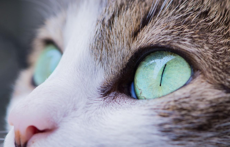 Фото обои кошка, глаза, взгляд, cat