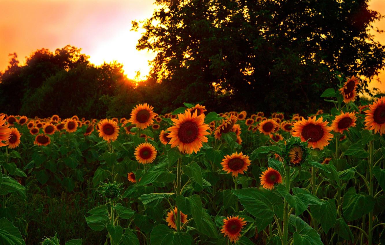 Фото обои Закат, Природа, Поле, Подсолнухи, Nature, Sunset, Field, Sunflowers