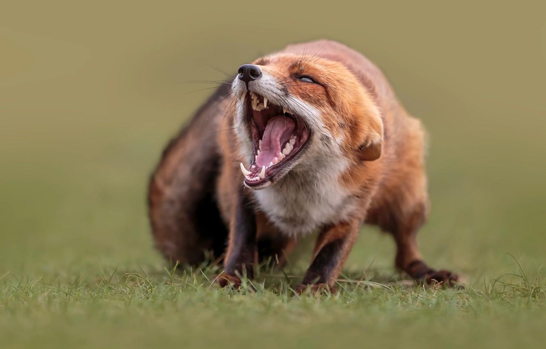 Фото обои трава, природа, животное, пасть, лиса, лисица