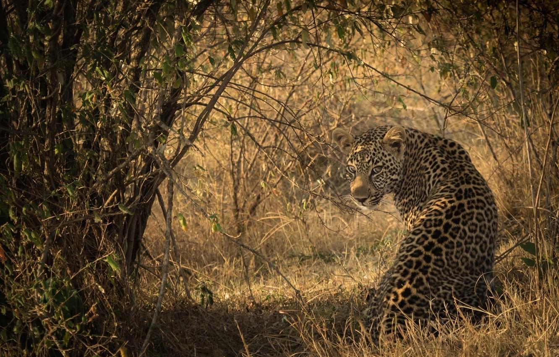 Фото обои свет, тень, хищник, пятна, леопард, Африка, окрас, сидит, дикая кошка, смотрит