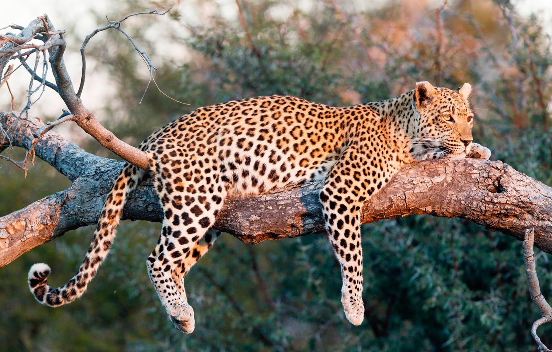 Обои на дереве, отдых, дикая кошка, леопард, африка, Хищник, лежит. Животные foto 12