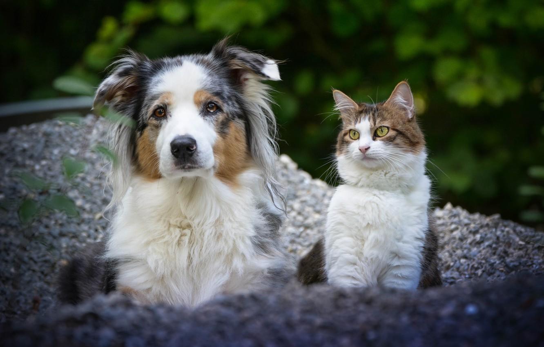 Фото обои кошка, собака, парочка, друзья, Австралийская овчарка, потртрет