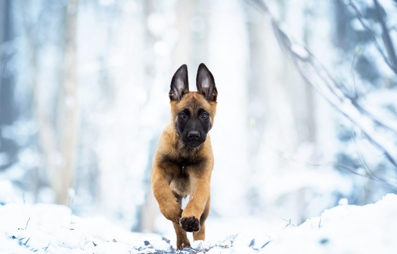 Фото обои зима, снег, собака, щенок, прогулка, Бельгийская овчарка малинуа