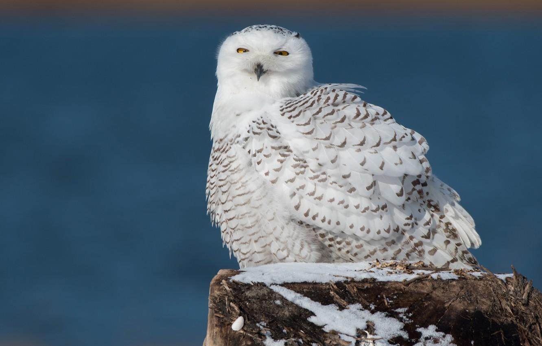 Картинки белая сова зимой