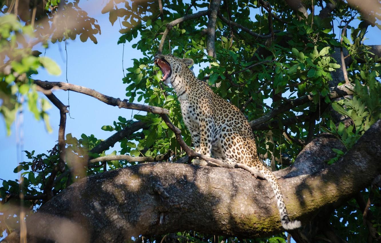Фото обои хищник, леопард, сидит, дикая кошка, зевает, на дереве