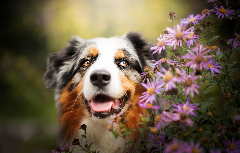 Фото обои морда, цветы, портрет, собака, Австралийская овчарка, Аусси