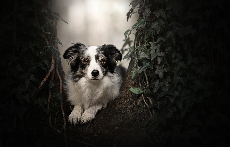 Фото обои взгляд, дерево, портрет, собака, плющ, Бордер-колли