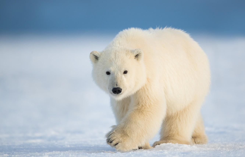 Фото обои зима, снег, природа, белый медведь