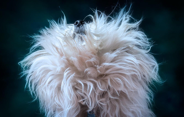 Фото обои фон, собака, шерсть