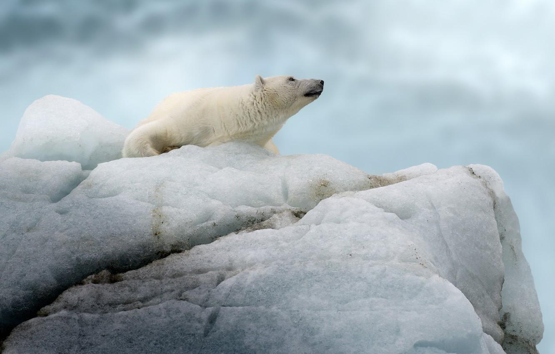 Фото обои медведь, айсберг, льдина, белый медведь, полярный медведь
