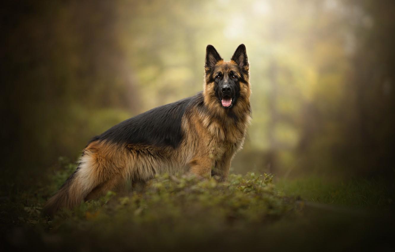 Фото обои собака, овчарка, Gin, Dog Photography