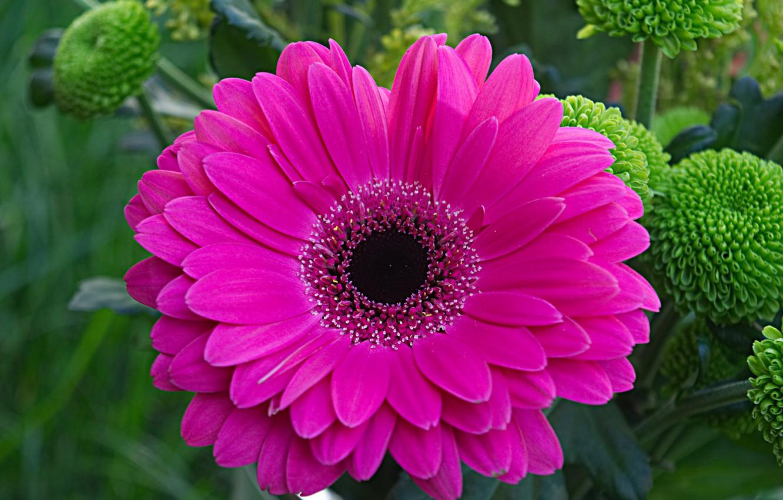 Фото обои цветок, природа, лепестки, гербера