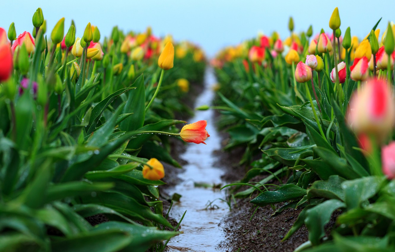 Фото обои поле, небо, листья, вода, капли, цветы, свежесть, дождь, весна, желтые, после дождя, тюльпаны, оранжевые, бутоны, …