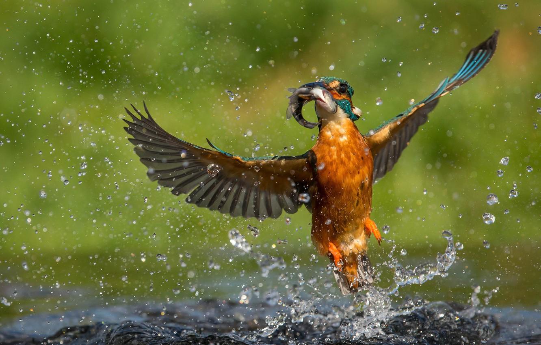 Фото обои вода, капли, птица, рыба, зимородок, улов