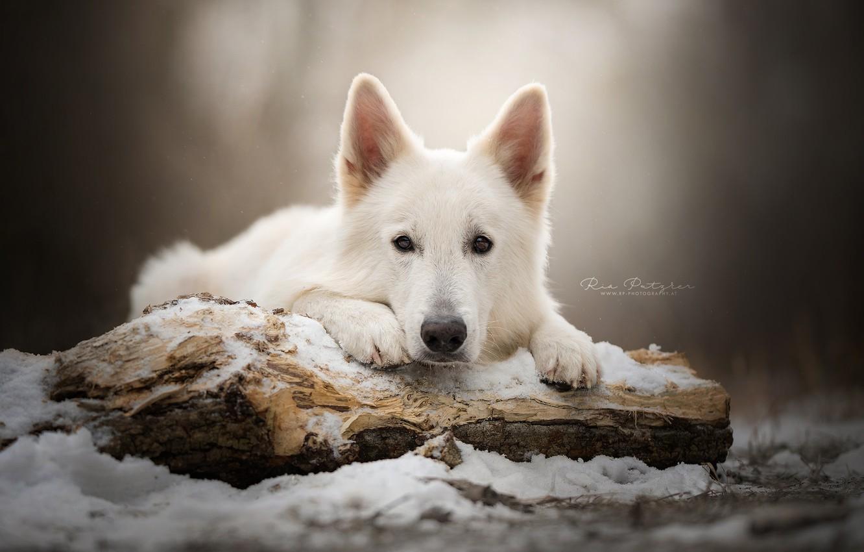 Фото обои взгляд, морда, снег, собака, бревно, Белая швейцарская овчарка