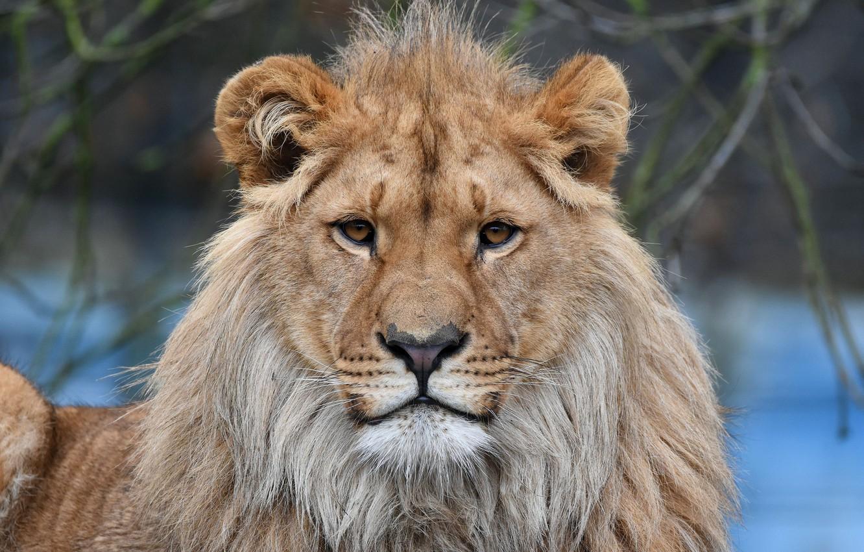 Фото обои Взгляд, Кот, Лев, Грива, Животное