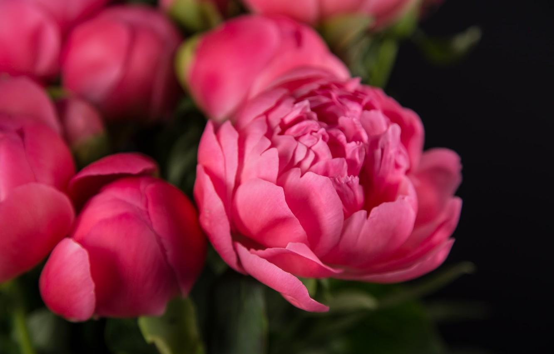 Фото обои розовый, лепестки, пионы