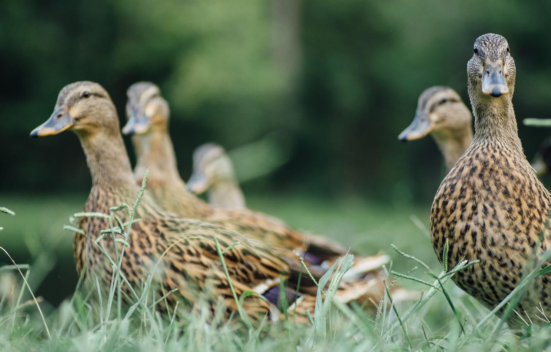 Фото обои трава, птицы, утки, перья, смотрит