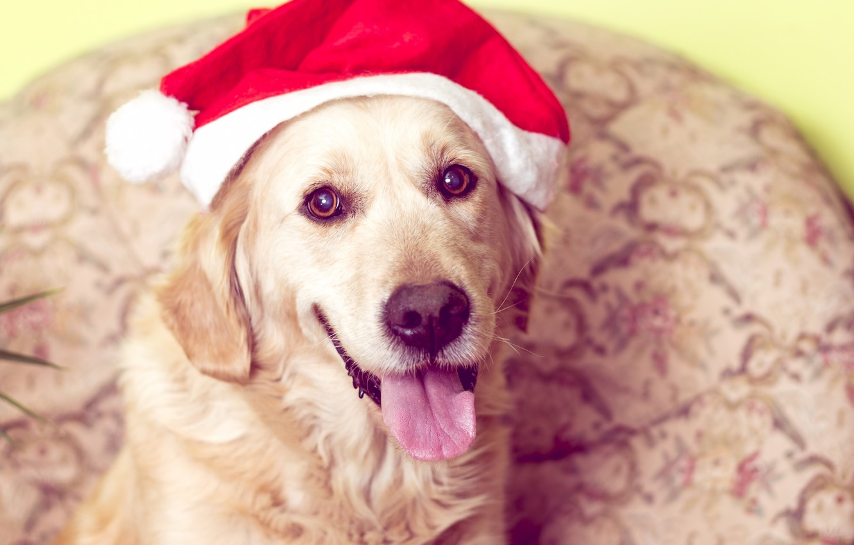 Фото обои собака, Новый Год, Рождество, лабрадор, Christmas, dog, Merry Christmas, Xmas, funny, cute, decoration, santa hat