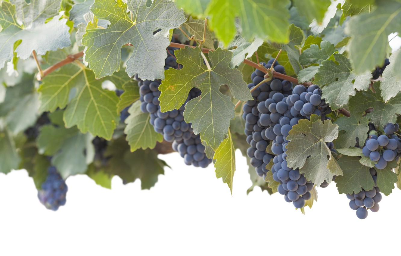Фото обои листья, природа, виноград, гроздь, виноградник, кустарник, синий виноград