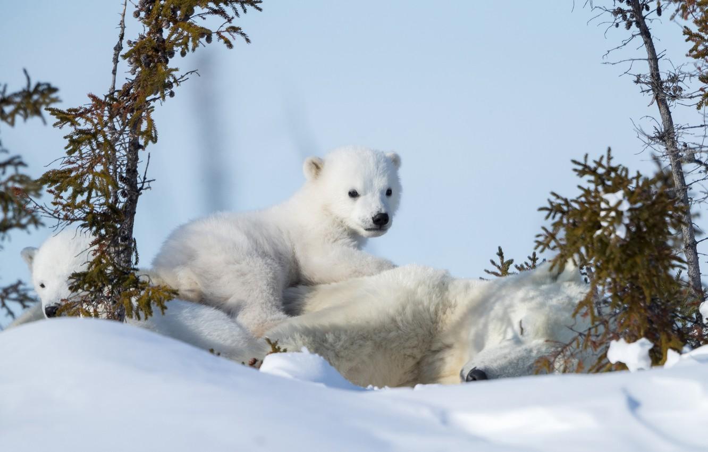 Фото обои зима, снег, медвежата, медведица, Белые медведи, Полярные медведи