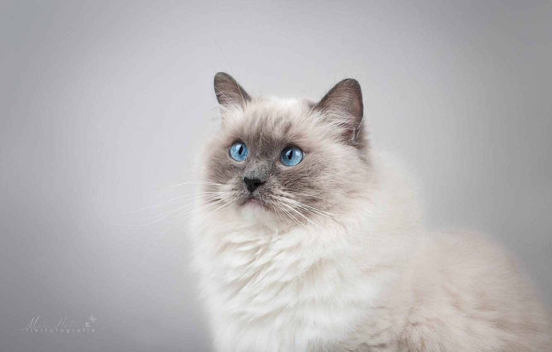 Фото обои кошка, взгляд, фон, портрет, мордочка, голубые глаза, фотосессия, Рэгдолл