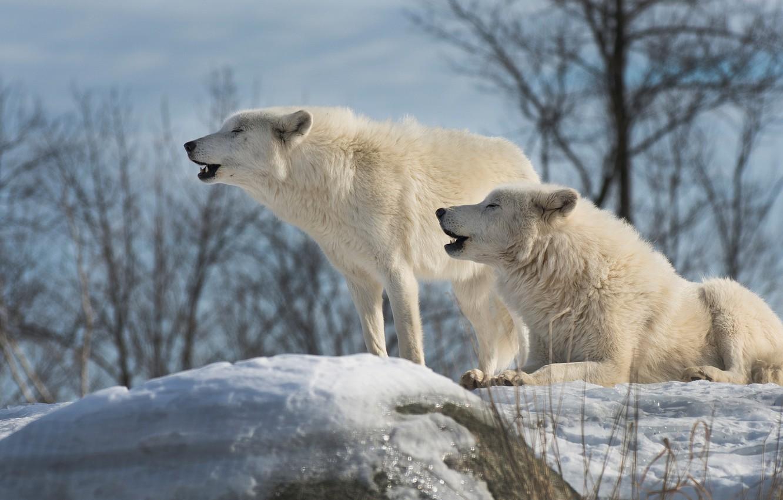 имени белые волки пара картинки индикатором может