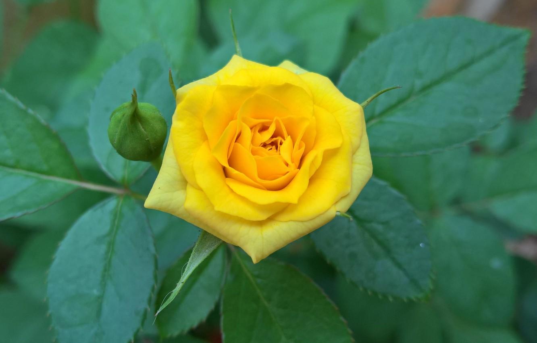 Фото обои листья, роза, куст, лепестки, бутон, жёлтая