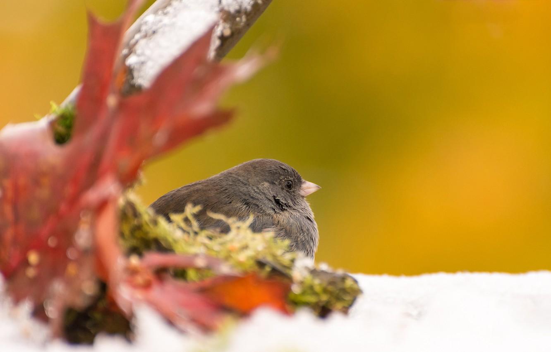 Фото обои осень, лист, птица, серый юнко