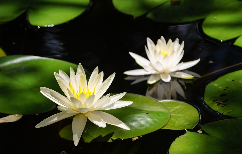 Фото обои листья, цветы, цветение, водоем, кувшинки