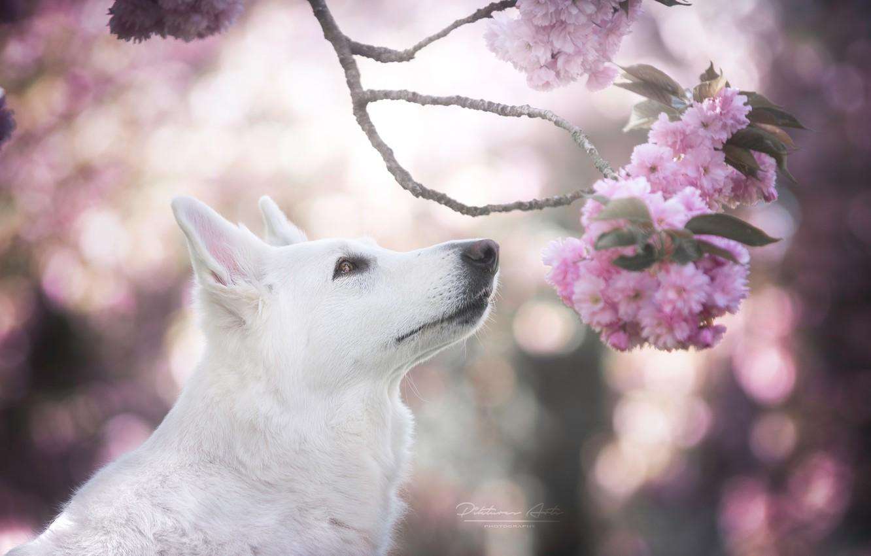 Фото обои морда, вишня, блики, собака, ветка, весна, сакура, цветение, Белая швейцарская овчарка