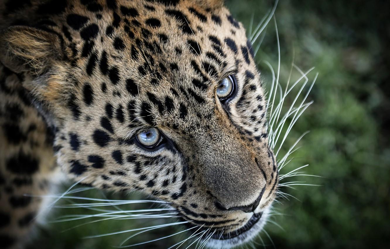 Обои леопард, Кошка, морда. Кошки foto 7