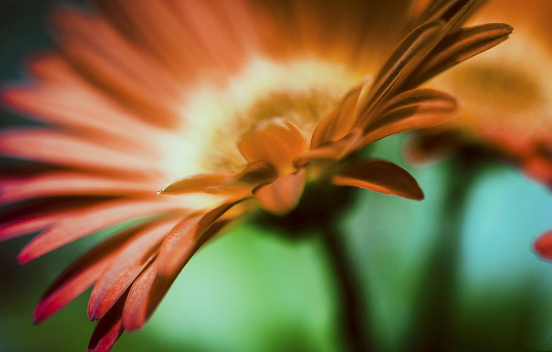 Фото обои цветок, лепестки, гербера