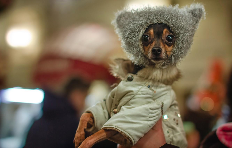 Фото обои стиль, куртка, мордашка, мода, шапочка, пёсик, Чихуахуа, собачонка
