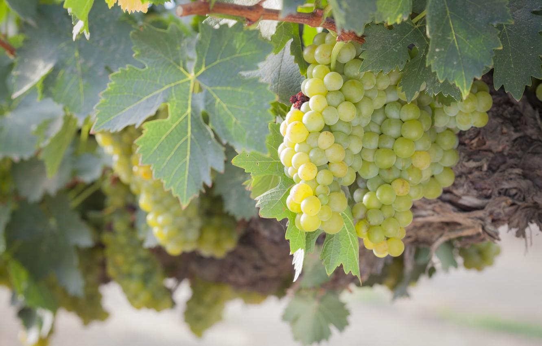 Фото обои листья, природа, виноград, гроздь, виноградник, кустарник