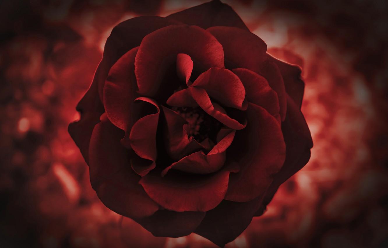 Фото обои макро, роза, лепестки, бутон