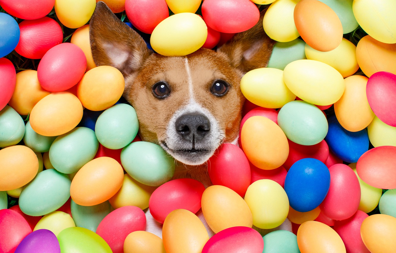 Фото обои собака, colorful, Пасха, happy, dog, Easter, eggs, holiday, funny, яйца крашеные