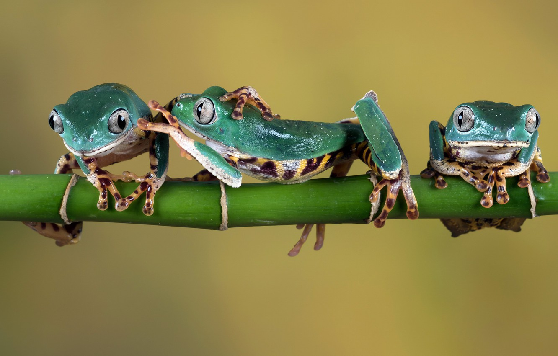 Фото обои веточка, лапки, зеленые, лягушки