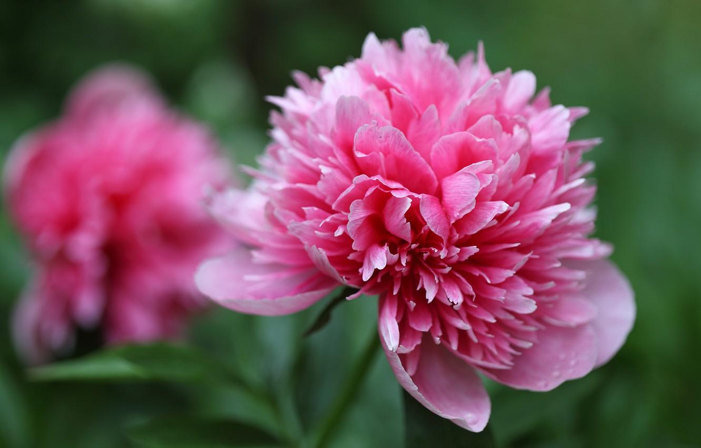 Фото обои цветы, розовый, бутон, боке, пион