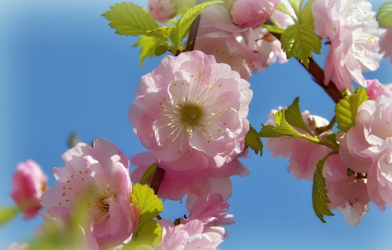 Фото обои цветы, природа, праздник, красота, весна, май, цветение, миндаль