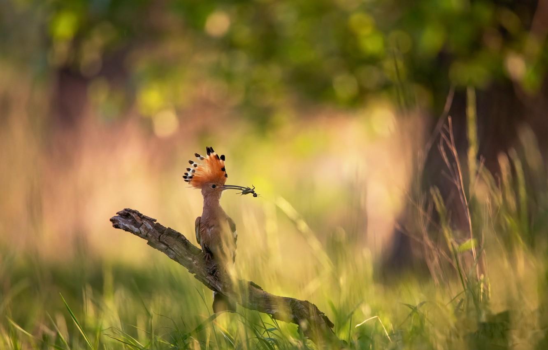 Фото обои лето, природа, птица, удод
