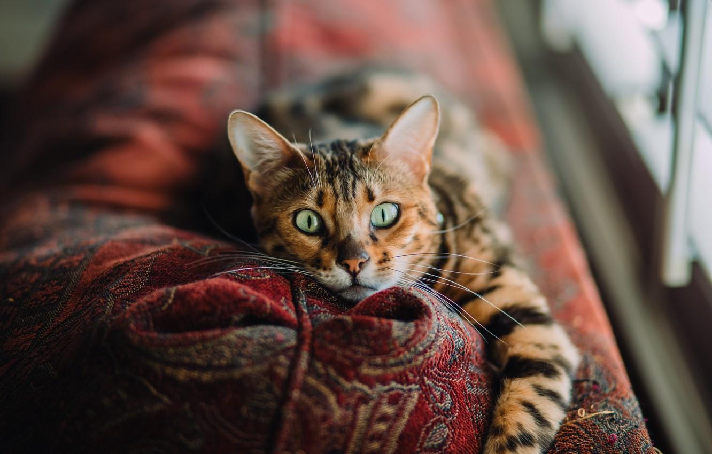 Фото обои кот, фон, блюр