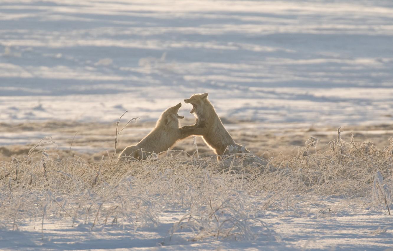 Фото обои зима, лисы, Россия, разборки, спарринг, Сахалин